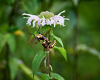 Wasp attacking Snowberry Clearwing Moth (Hemaris diffinis) sequence. Image taken with a Nikon Df camera and 300 mm f/4  lens