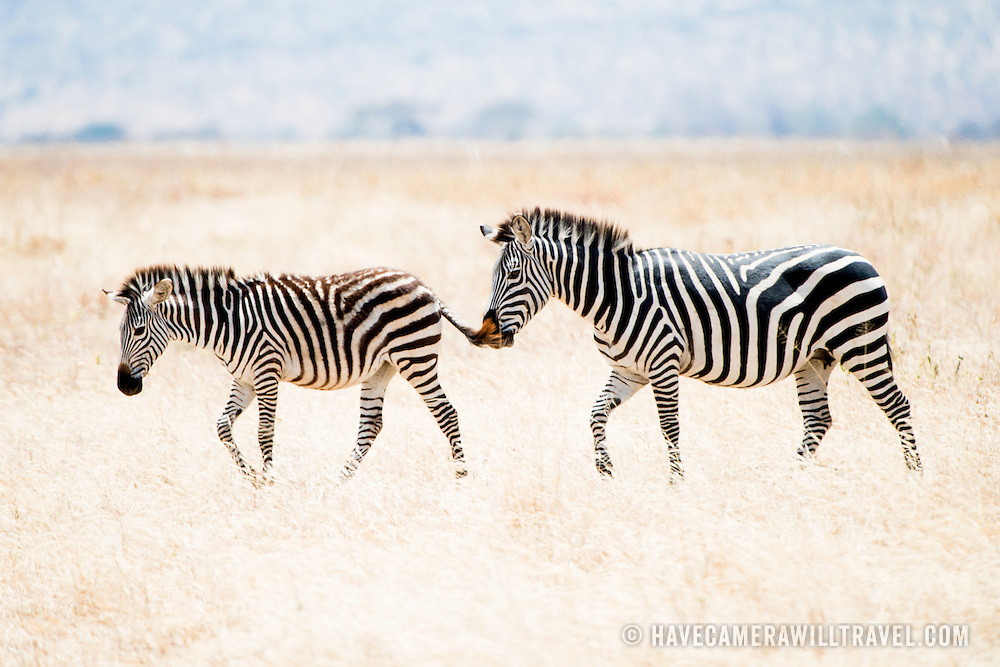 A young zebra and a parent walk in the brown grass at Tarangire National Park in northern Tanzania not far from Ngorongoro Crater and the Serengeti.