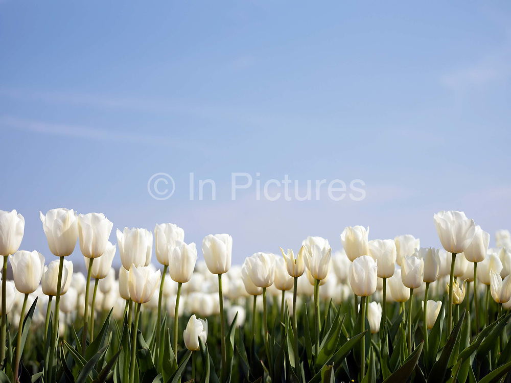 Some of 250,000 tulips in full bloom in a Lincolnshire flower field farmed by Multiflora Flowers on 9th April 2020 in Holbeach, Lincolnshire, United Kingdom. It is said that 'If you see a colourful field of flowers, the crop has failed.' Because of the UK lockdown due to the Covid-19 pandemic wholesalers have closed their doors and supermarkets who are their main customer cancelled their orders leaving the growers with nowhere to sell their flowers. In subsequent days the grower will remove the waste tulip heads in order for the bulbs to retain energy to grow for next year.