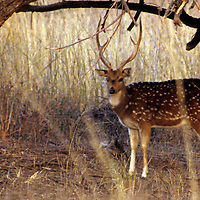 Asia, India, Ranthambore. Chital, or Spotted Deer of Ranthambore Park.