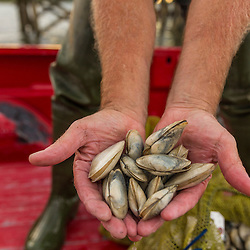 Commercial clammer Joe Delano holds freshly harvested clams at Pine Point in Scarborough, Maine.