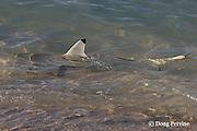 blackfin or blacktip reef shark, Carcharhinus melanopterus, patrols the shoreline, hunting for seabirds and bait fish, Turu Cay, Torres Strait, Queensland, Australia