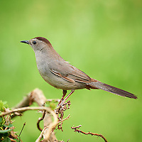 Grey Catbird. Summer Nature in New Jersey. Image taken with a Nikon D3x and 600 mm f/4 lens (ISO 800, 600 mm, f/4, 1/125 sec). Raw image processed with Capture One Pro 6, Nik Define 2, and Photoshop CS5.
