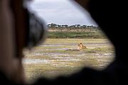 Nature photograph of a single adult lioness (Panthera leo) seen from a safari car window, Ngorongoro Conservation Area, Tanzania