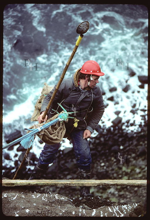 Waves crash upon rocks far below as man backs down cliff on rope to gather murre eggs;Grimsey/May Iceland