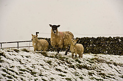 Pictured: Lambs have to be hardy when born in Scotland<br /> <br /> Poor weather conditions are taken in their stride by animals and workers on the A701 between Broughton and Moffat. <br /> <br /> Ger Harley   EEm 23 February 2017