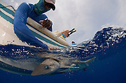 Dusky smooth-hound (Mustelus canis) capture<br /> MAR Alliance<br /> Lighthouse Reef Atoll<br /> Belize<br /> Central America