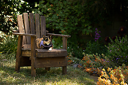 Zelda the cat lounges in the back yard of her Oakland, Calif. home, Friday, July 3, 2020. (Photo by D. Ross Cameron)