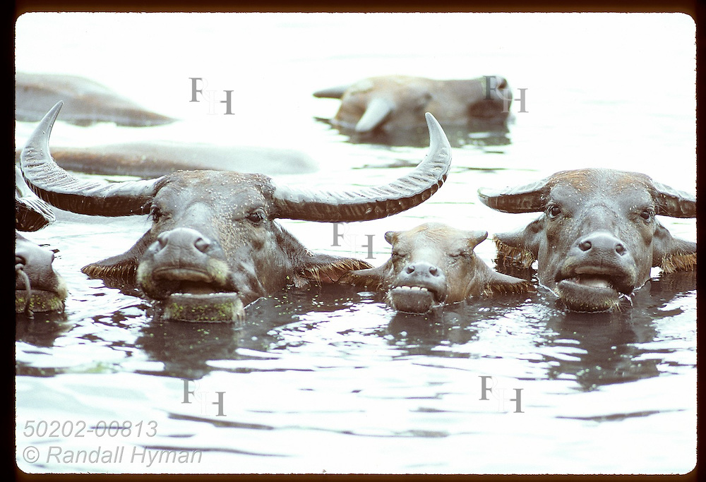 Fly-covered trio of water buffalos strikes a family pose while bathing in lagoon; Phuket. Thailand