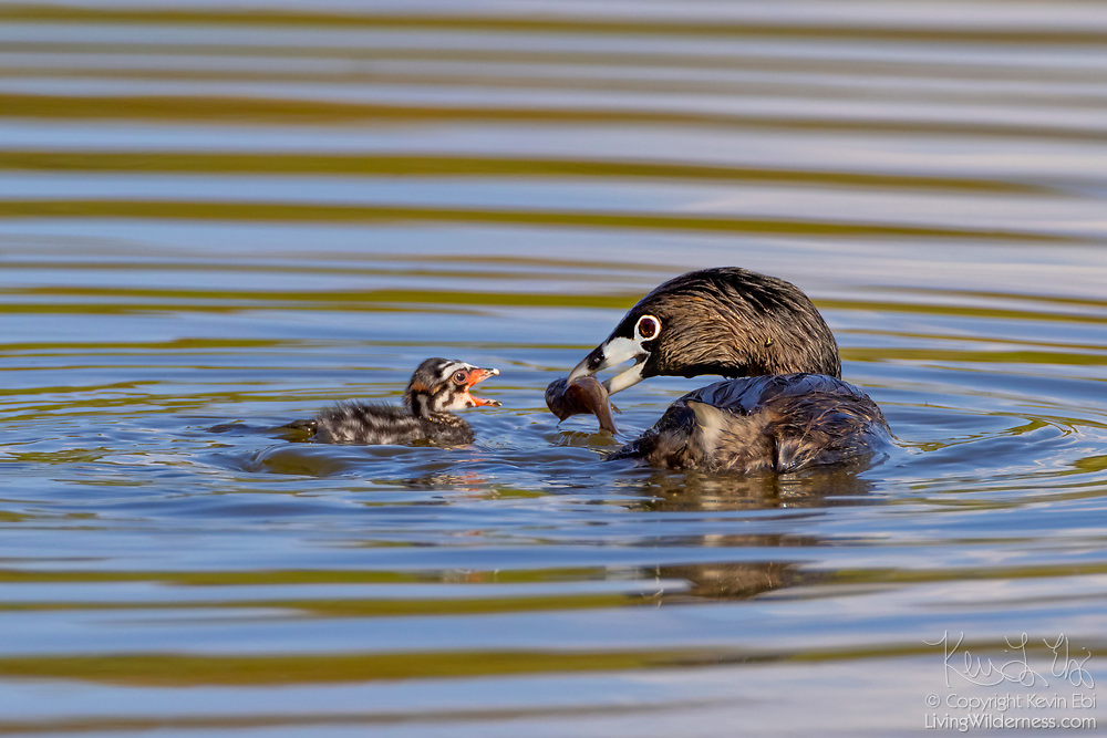 A pied-billed grebe (Podilymbus podiceps) feeds a fish to its chick on a pond in the Union Bay Natural Area, Seattle, Washington.