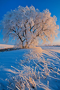 Hoarfrost covered tree at sunrise. Grande Pointe, Manitoba, Canada<br />Grande Pointe<br />Manitoba<br />Canada