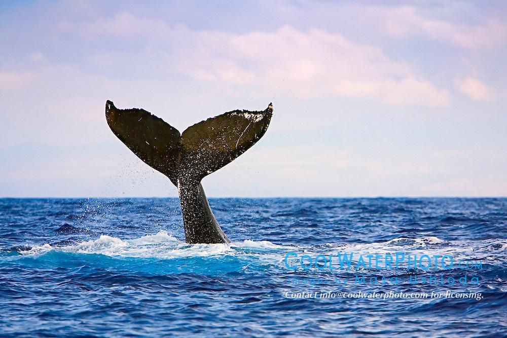 humpback whale, Megaptera novaeangliae, lobtailing, tail-slapping, Big Island, Hawaii, USA, Pacific Ocean