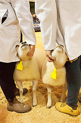 © Licensed to London News Pictures. 25/11/2019. Llanelwedd, Powys, Wales, UK. Sheep events take place on the first day of the Royal Welsh Winter Fair in Powys,  UK. Photo credit: Graham M. Lawrence/LNP