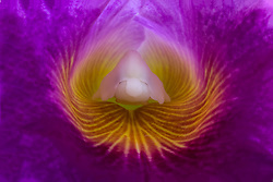Cattleya Blc. Varut Rittenum orchid#8