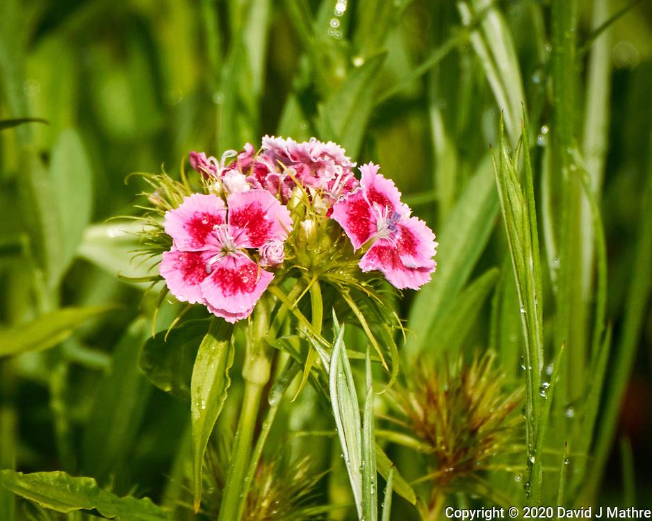 Sweet William (Dianthus) flowers. Image taken with a Nikon N1V3 camera and 70-300 mm VR lens (ISO 400, 300 mm, f/5.6, 1/800 sec).