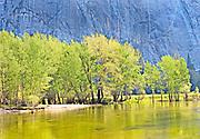 Brilliant Light on Spring Trees Along Merced River, Yosemite National Park, California