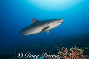 large female tiger shark, Galeocerdo cuvier, with a crooked jaw likely from fishing interaction and a remora or sharksucker attached to the lower jaw, Honokohau, Kona, Big Island, Hawaii, USA ( Central Pacific Ocean )