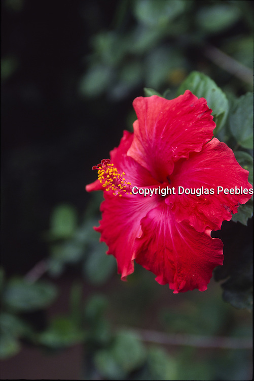 Hibiscus flower, Puamua, Hiva Oa, Marquesas, French Polynesia<br />