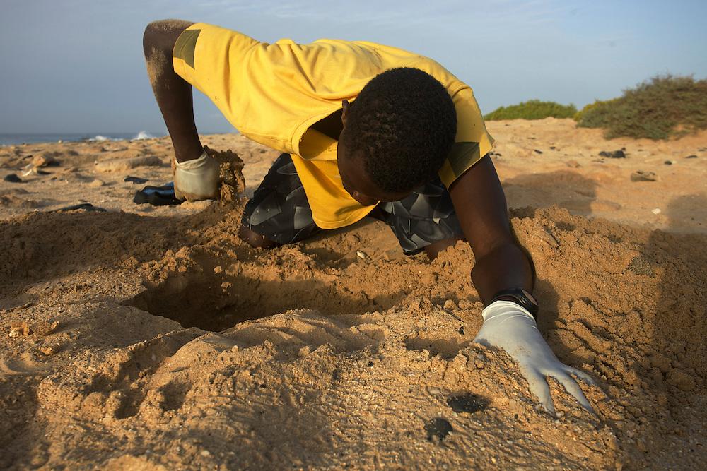 16/Septiembre/2014 Cabo Verde. Boa Vista.<br /> Momento de exhumación de un nido de tortuga Carettha carettha. Un porcentaje mínimo de los nidos puestos de manera natural en la playa logra sobrevivir a las inundaciones y a los ataques de los cangrejos fantasma.<br /> <br /> © JOAN COSTA