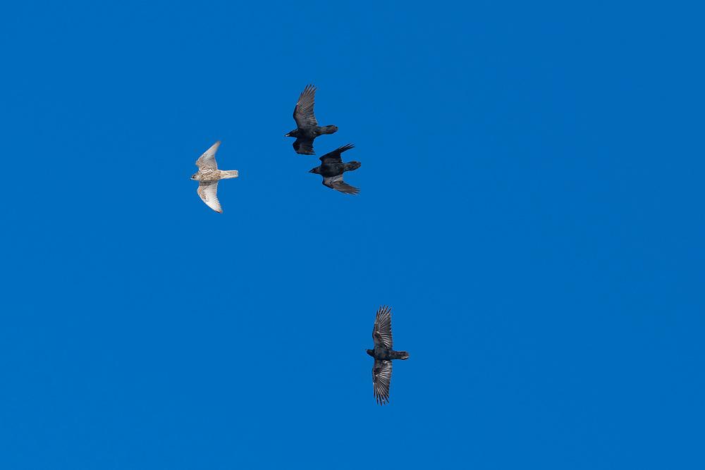 Gyrfalcon, Falco rusticolus, chased by ravens Corvus corax, Hornoya, Varanger, Finnmark, Norway
