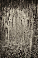 Birches during stormy weather. Long exposere, the top of the trees move in the wind, while tree trunks near the ground reamin unmoved