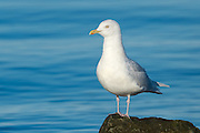 The Iceland gull (Larus glaucoides) is a medium size gull which breeds in the Arctic regions of Canada and Greenland, but not Iceland, where it is only seen in the winter. It is migratory, wintering from in the North Atlantic as far south as the British Isles and northernmost states of the eastern USA, as well as in the interior of North America as far west as the western Great Lakes. It is much scarcer in Europe than the similar glaucous gull.