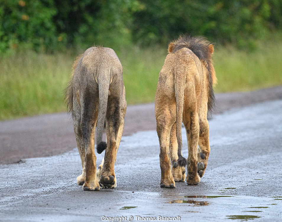 Two male lions walk together at Nairobi National Park. These most likely are brothers and have been together all their lives.