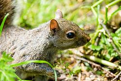 A Grey Squirrel (Scientific name Sciurus Carolinensison) on the ground in Graves Park Sheffield <br /> <br />  Copyright Paul David Drabble<br />  09 June 2019<br />  www.pauldaviddrabble.co.uk