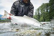 A super fresh chinook salmon is released back to BC's Dean River.