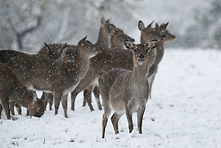 © Licensed to London News Pictures. 09/11/2016. Ripon, UK. Sika deer in the heavy snowfall at Fountains Abbey near Ripon in North Yorkshire. The Met Office has issued a severe weather warning as Scotland and much of the North of England has seen heavy snowfall. Photo credit : Ian Hinchliffe/LNP