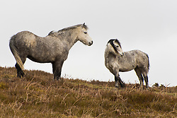 © Licensed to London News Pictures. 13/03/2021. Hay-on-Wye, Powys, Wales, UK. Welsh mountain ponies brave the strong cold wind near Hay-on-Wye in Powys, Wales, UK. Photo credit: Graham M. Lawrence/LNP