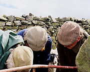 Hill farmer  John Rayner and two of his sons, wearing flat caps, mark Swaledale lambs at Gouthwaite Farm, Nidderdale, North Yorkshire, UK. Every lamb needs to be marked with the farmers individual mark as the sheep run wild on the Moor.
