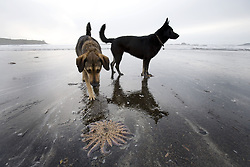 July 21, 2019 - Dogs And Starfish On Beach, Tofino, Vancouver Island, Canada (Credit Image: © Deddeda/Design Pics via ZUMA Wire)