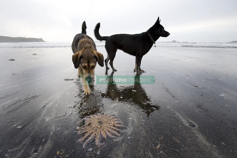 July 21, 2019 - Dogs And Starfish On Beach, Tofino, Vancouver Island, Canada (Credit Image: © Deddeda/Design Pics via ZUMA Wire)
