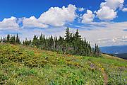 Wildflowers in the alpine zone at the summit of Sun Peaks (Lupines, paintbrush, composite), Sunpeaks near Kamloops, British Columbia, Canada