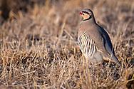 Chukar partridge, Alectoris chukar, Tien Shan mountains, Xinjiang, China