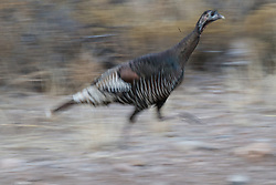 Wild turkeys (Meleagris gallopavo) running, Ladder Ranch, west of Truth or Consequences, New Mexico, USA.