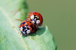Convergent Ladybug Beetles Mating
