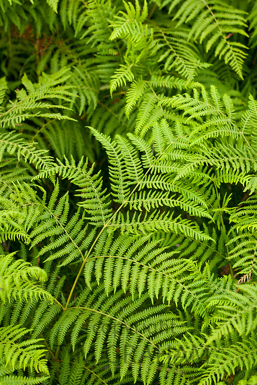 Bright green bracken ferns in Cumbria, England<br /> FINE ART PHOTOGRAPHY by Tim Graham