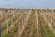 vineyard clos des quatre vents margaux medoc bordeaux france