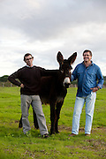 Miguel Carvalho and Filipe Carvalho, founders of the milking company.<br /> It is said that Cleopatra always took her bath in donkey milk to keep her beauty eternal. Far beyond the aesthetic benefits, the donkey milk is in the animal world the closest to the human maternal milk and was used as it´s substitute until the twentieth century. More recent findings indicate that the donkey milk can also be consumed by children allergic to cow's milk.<br /> Despite all this, the great utility of the donkey had always been their mobility and strength, with the mechanization of agriculture and the development of transportation, the donkey began to be used less and less. In Portugal, in the twentieth century, a very partircular kind of donkey came in the process of extinction, the race of Miranda.<br /> Four years ago two businessmen in Portugal decided to merge these two factors and create Naturasin, a company dedicated to preserving the kind of Miranda by producing she donkey milk and selling it to the cosmetic industry.<br /> The small farm in Couco a village 100 km from Lisbon is this days selling milk to countries as far away as South Korea, it has 50 she donkeys and in 2011 were born in the farm 17 copies of the endangered species. In Portugal. 20/01/2012 NO SALES IN PORTUGAL