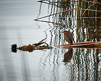 Green Heron. John Chesnut Senior Park, Pinellas County. Image taken with a Nikon Df camera and 300 mm f/4 lens (ISO 1400, 300 mm, f/8, 1/1250 sec).