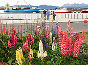 A garden of hybrid lupines (lupins or Lupinus) decorates the Port of Ushuaia with red, blue, pink, and yellow flowers, in Tierra del Fuego Province, Argentina, South America. A container ship from Maersk Sealand and red striped M/S Explorer are docked in the background.