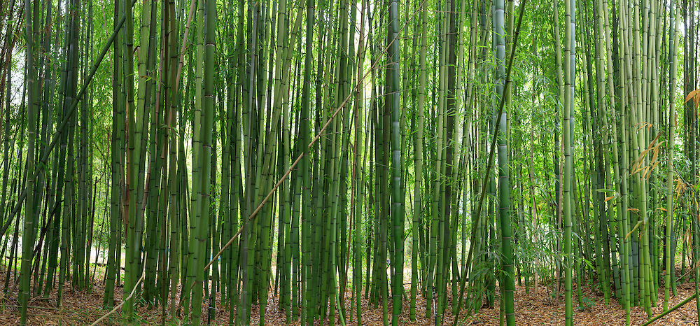 Bamboo Forest. (64184 x 29895 pixels)