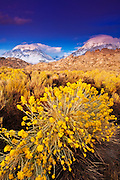 Rabbit brush under the Sierra crest from Buttermilk Country, Inyo National Forest, California USA