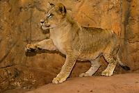 4 month old Lion Cub, Lion Park, near Johannesburg, South Africa.