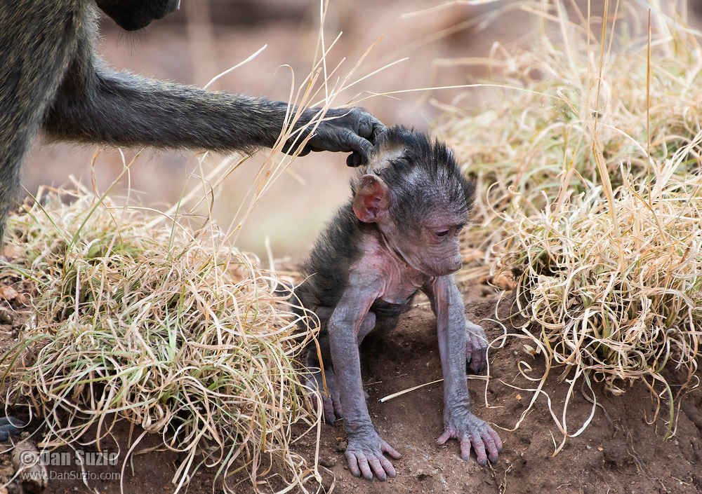 A female Olive Baboon, Papio anubis, reaches for her baby in Serengeti National Park, Tanzania