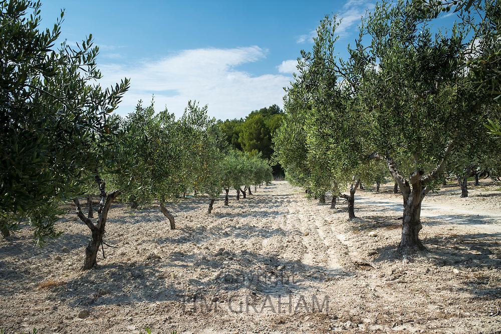 Olive grove of Nocellara olives for extra virgin olive oil production at Azienda Agricola Mandranova at Palma di Montechiaro in Sicily, Italy