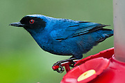 Masked Flowerpiercer (Diglossopis cyanea, in the Thraupidae family) was photographed at Bellavista Cloud Forest Reserve, near Quito, Ecuador, South America. It is a blue and black bird with red eyes found in humid montane forest and scrub in Venezuela, Colombia, Ecuador, Peru and Bolivia.
