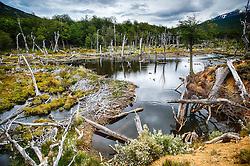 Castoreras, ou diques feitos pelos castores, no Parque Nacional Tierra del Fuego - Ushuaia,  Patagônia. FOTO: Jefferson Bernardes/ Agência Preview
